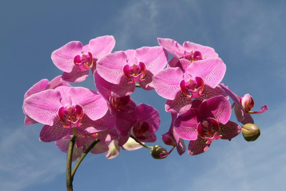 Orchid dandelion children